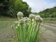 花畑のパンジー群